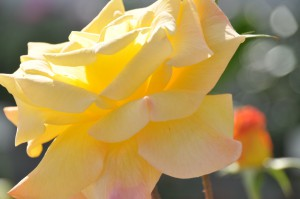 フラワーパークのバラ1