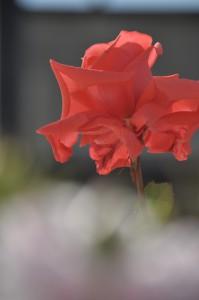 フラワーパークのバラ2