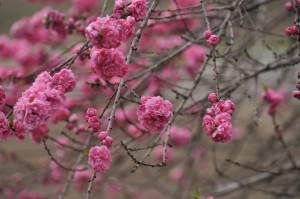 万博公園駅側民家の八重桜